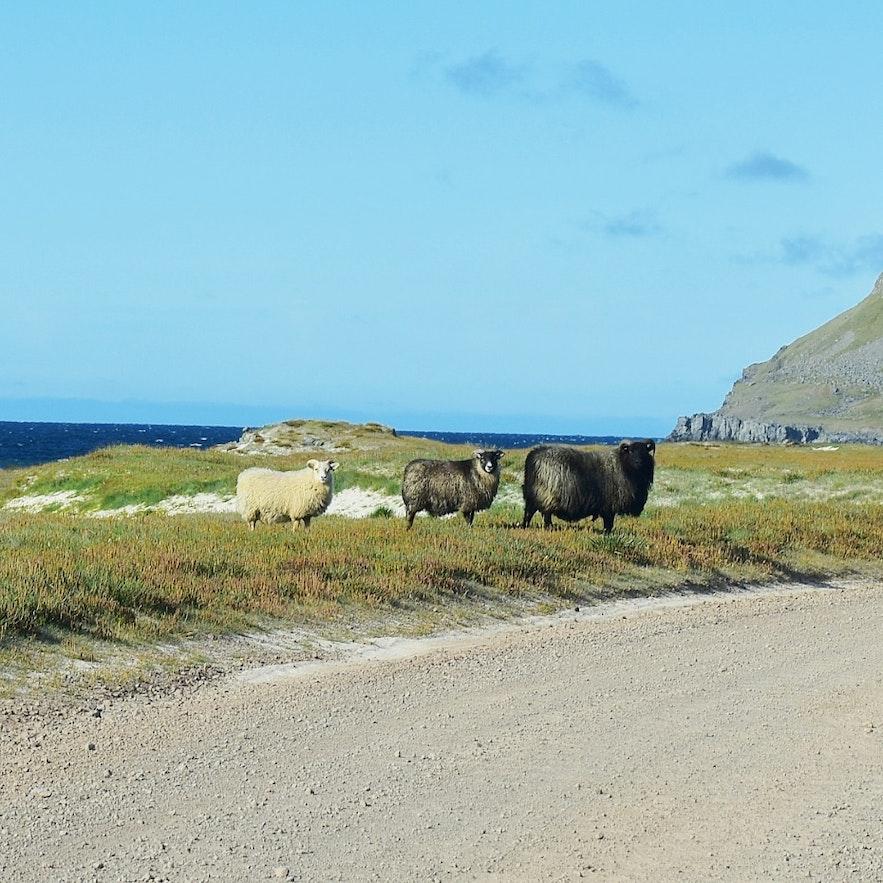 Isländische Schafe in den Westfjorden.