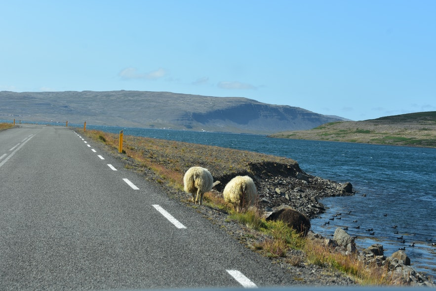 Isländische Schafe am Straßenrand in den Westfjorden.
