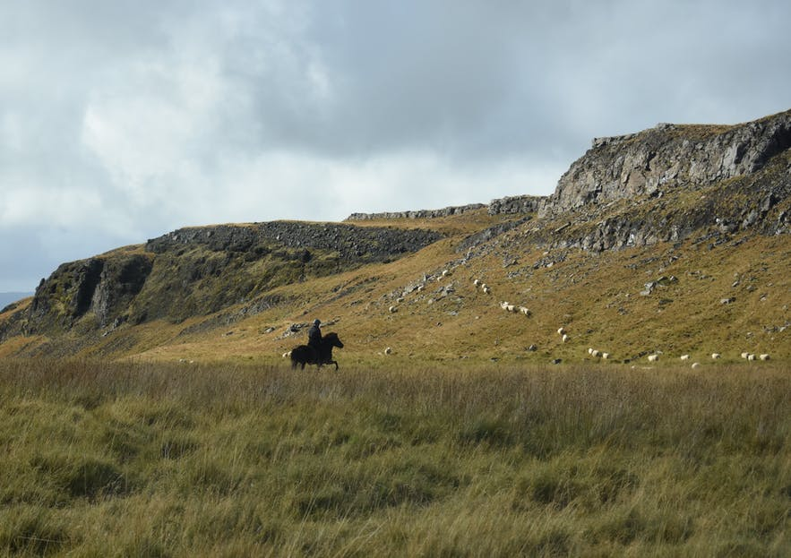 Islandpferd mit Reiter während dem Schafabtrieb.
