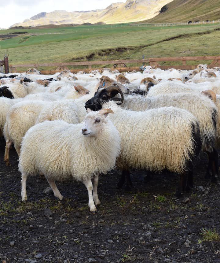 Schafe und Lämmer nach dem Abtrieb im Hochland auf Island.