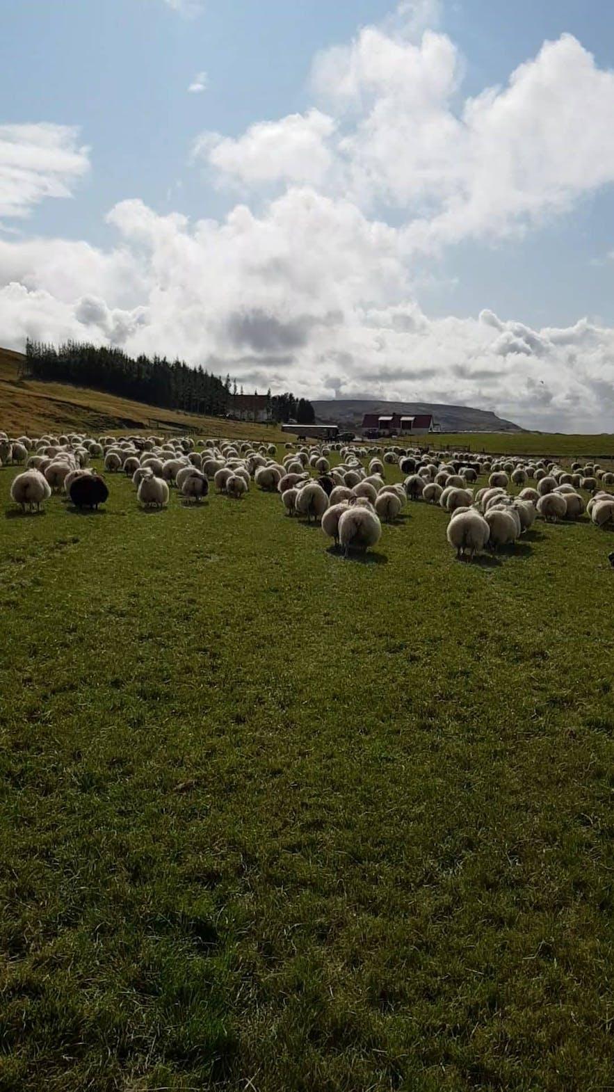 Rückkehr der isländischen Schafe.