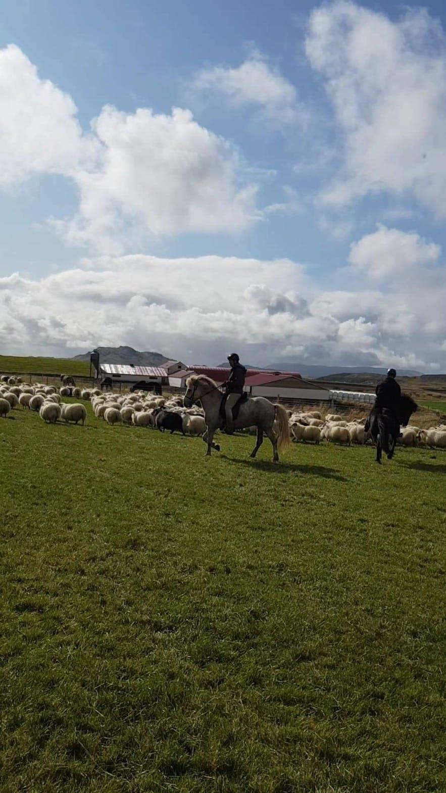 Reiter treiben die isländischen Schafe in Richtung Farm.