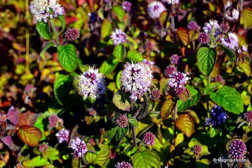 vatnamyntain Icelandicand the Latin name for it isMentha aquatica and is strictly preserved.