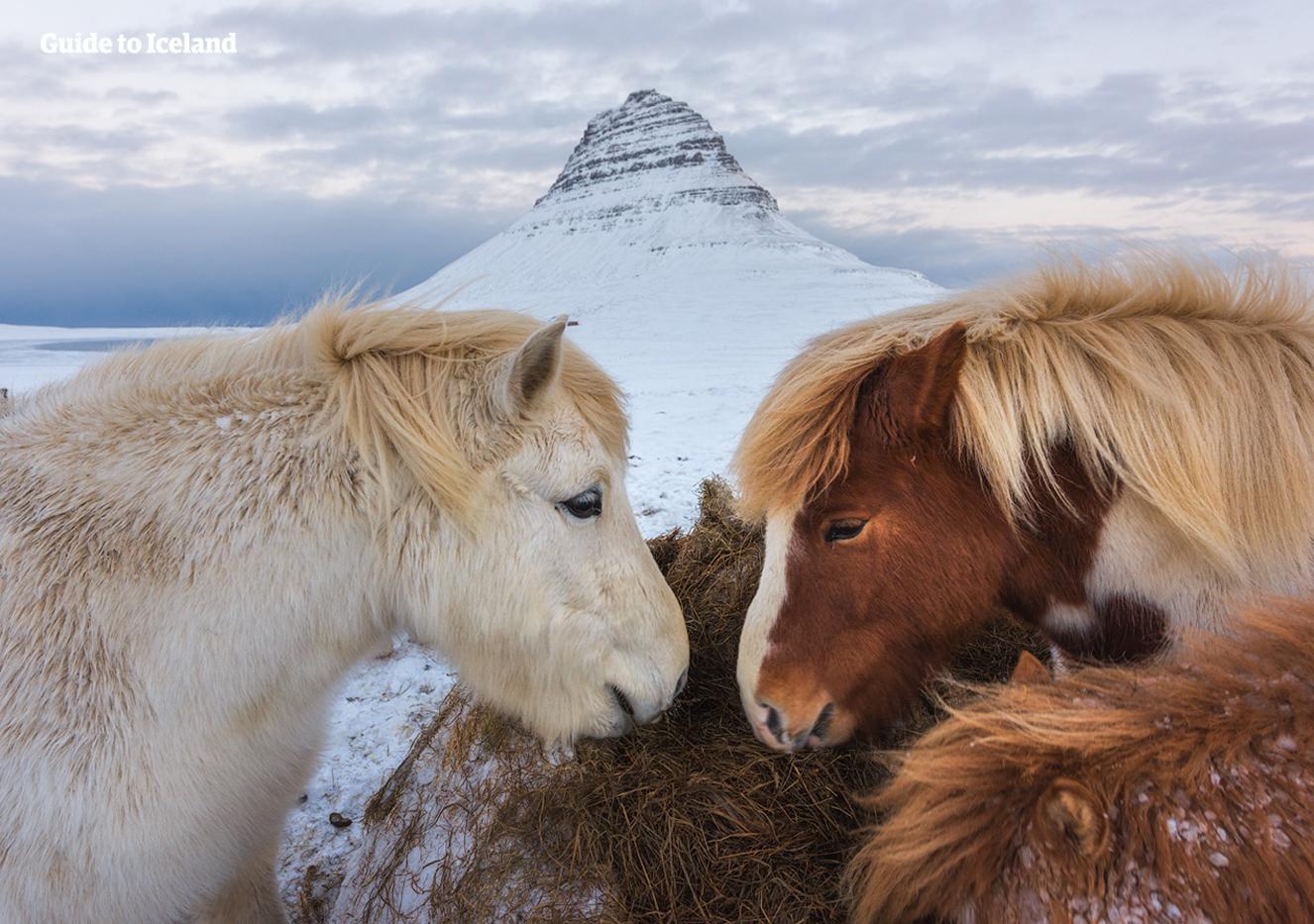 Islandshästar framför berget Kirkjufell på västra Island, här fotograferat på vintern.