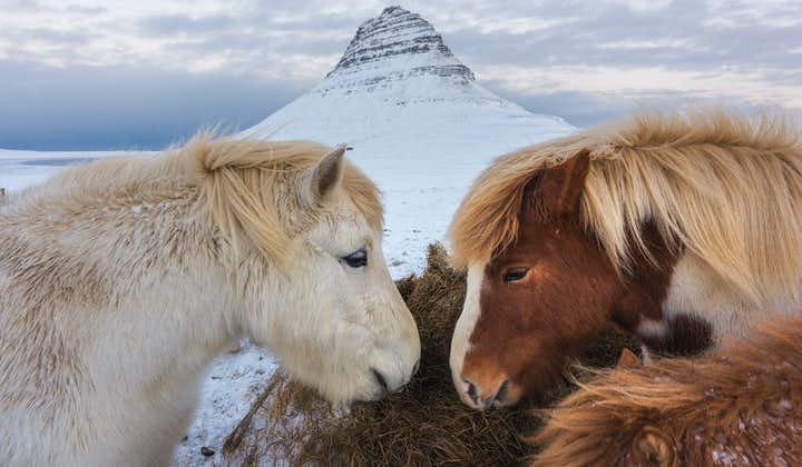 Kirkjufull, a west Iceland mountain pictured in winter, forms the backdrop to this image of Icelandic horses.