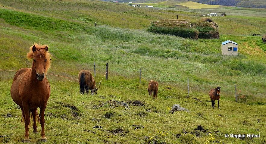 Horses at Tyrfingsstaðir