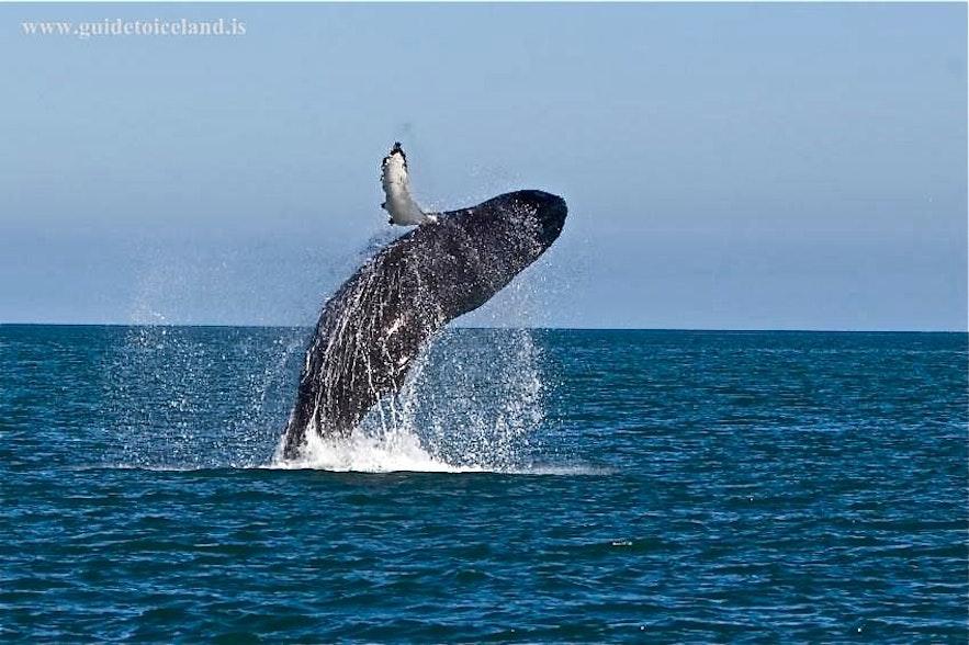 Observation de baleines en Islande