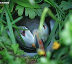 A puffin peaks from its nest in Iceland's summer.