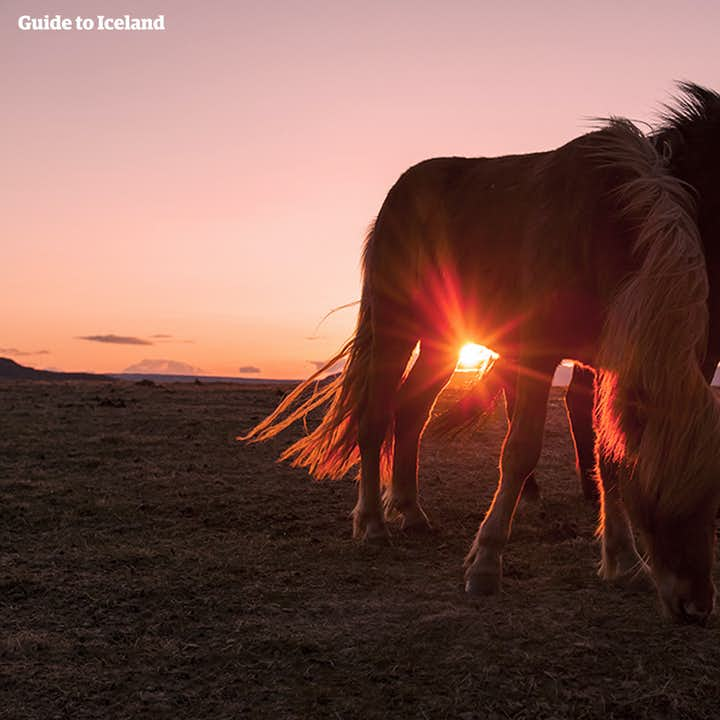 Icelandic Horses are friendly and sociable, and riding them is possible on many tours.