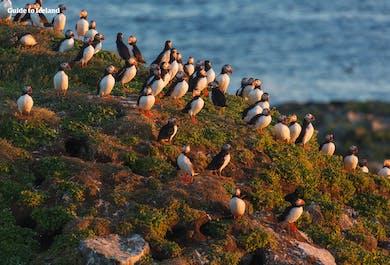 5 dni, samodzielna podróż | Vestmannaeyjar, maskonury i wieloryby