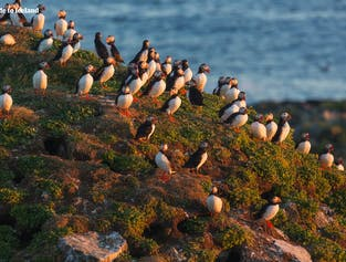 A colony of puffins on the Westman Islands.