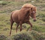 Icelandic horses are able to easily traverse the country's difficult terrain.