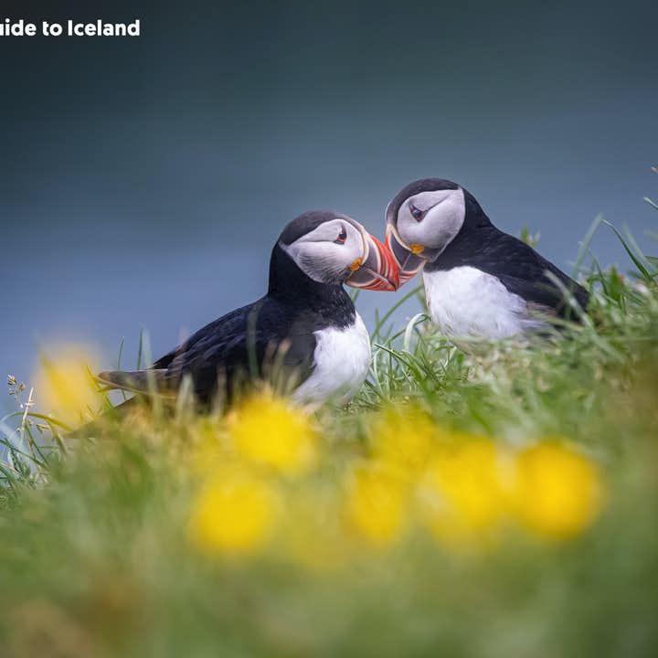 There are several spots in north Iceland where you can spot puffins.