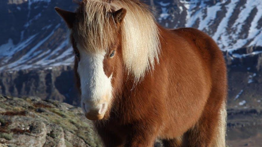 Icelandic horse at Bragdavellir Cottages