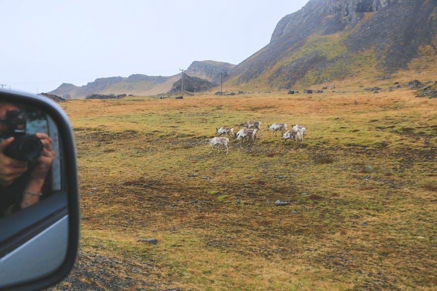 Reindeer on Ring Road
