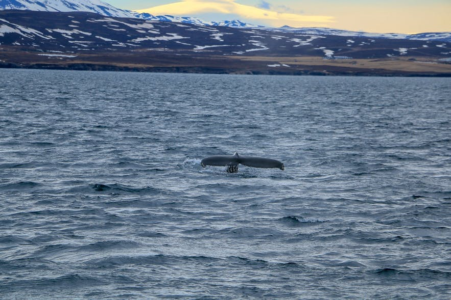 Whale watch Iceland - travel tips