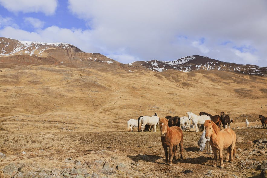 picture of Iceland horses