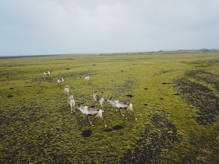 Picture of Iceland Reindeer