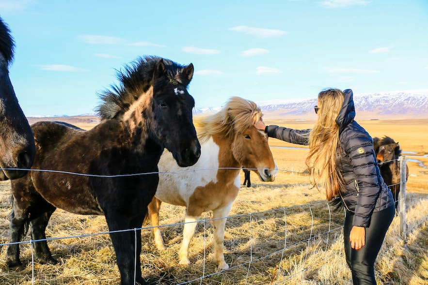 How much does it cost to pet an Iceland Horse