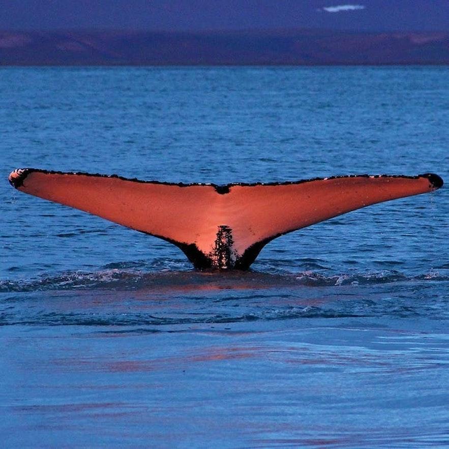 Wycieczka na wieloryby z Husaviku.