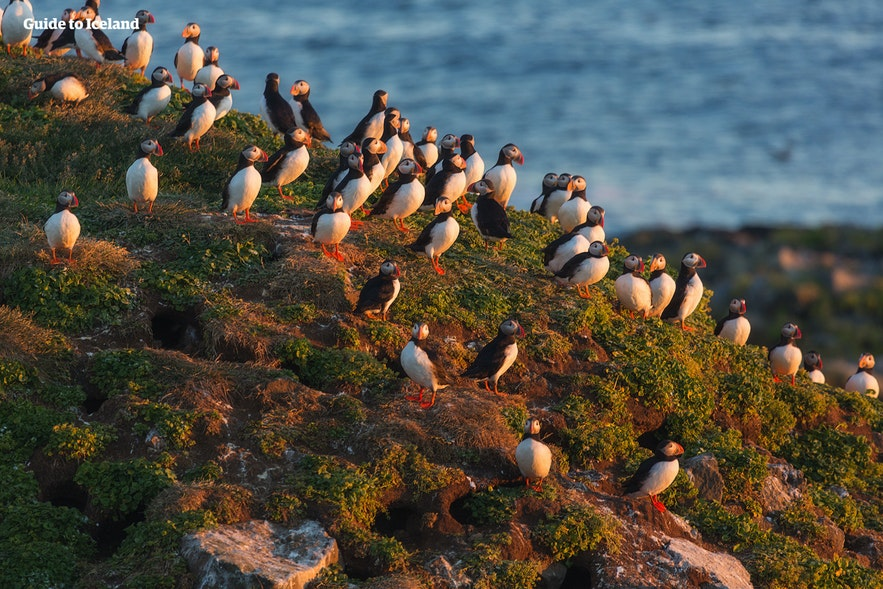 More puffins nest in the Westman Islands than anywhere else on earth, in the summer months.
