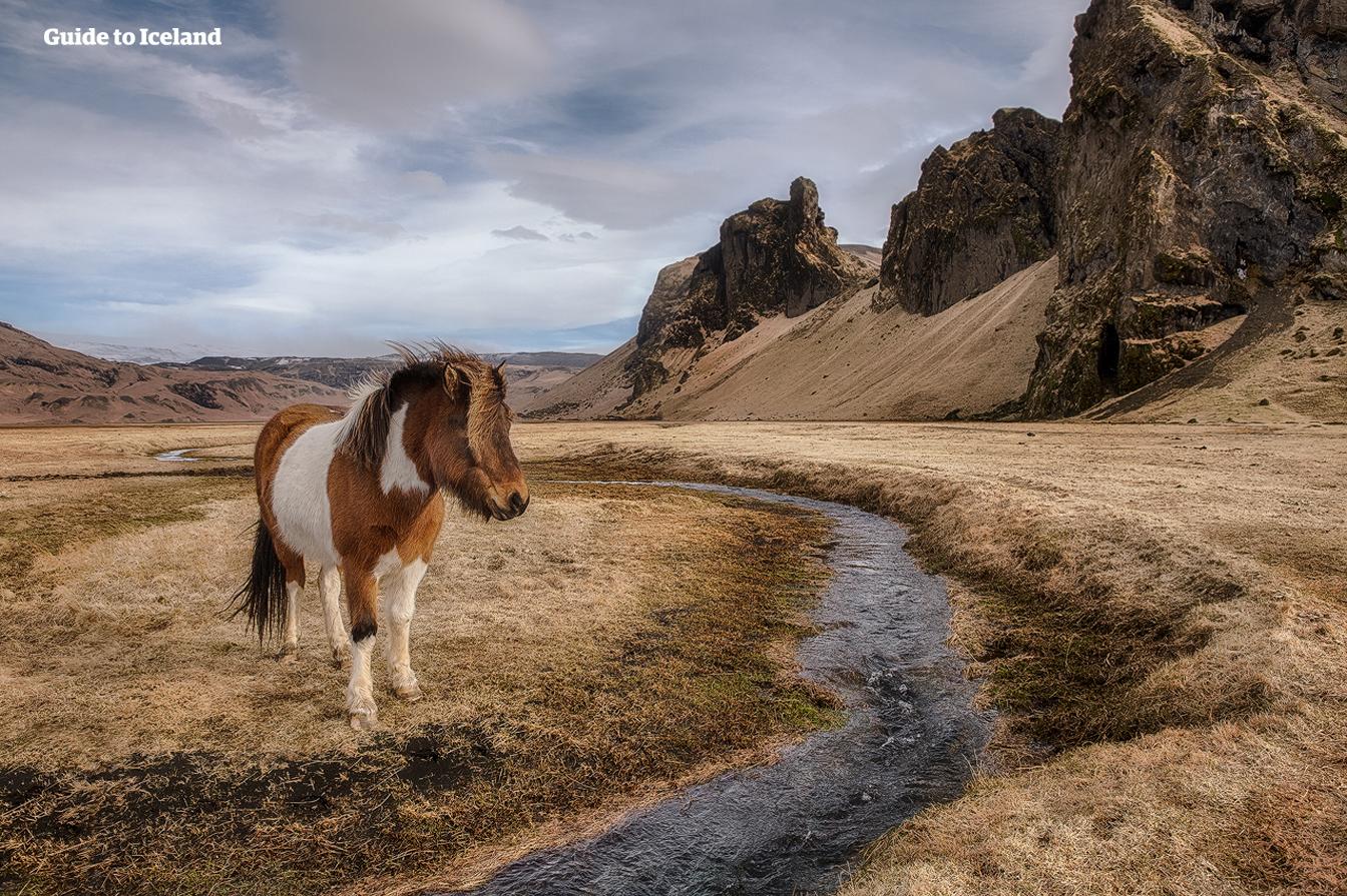 상당수의  아이슬란드 토종말이 유럽과 미국에서도 서식합니다.