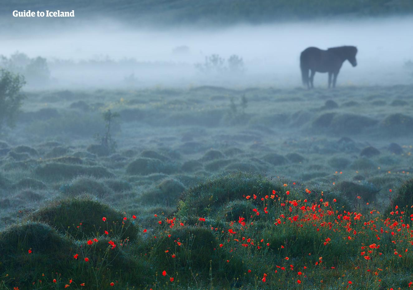 在冰岛全国多个地区都有骑马旅行团可以参加