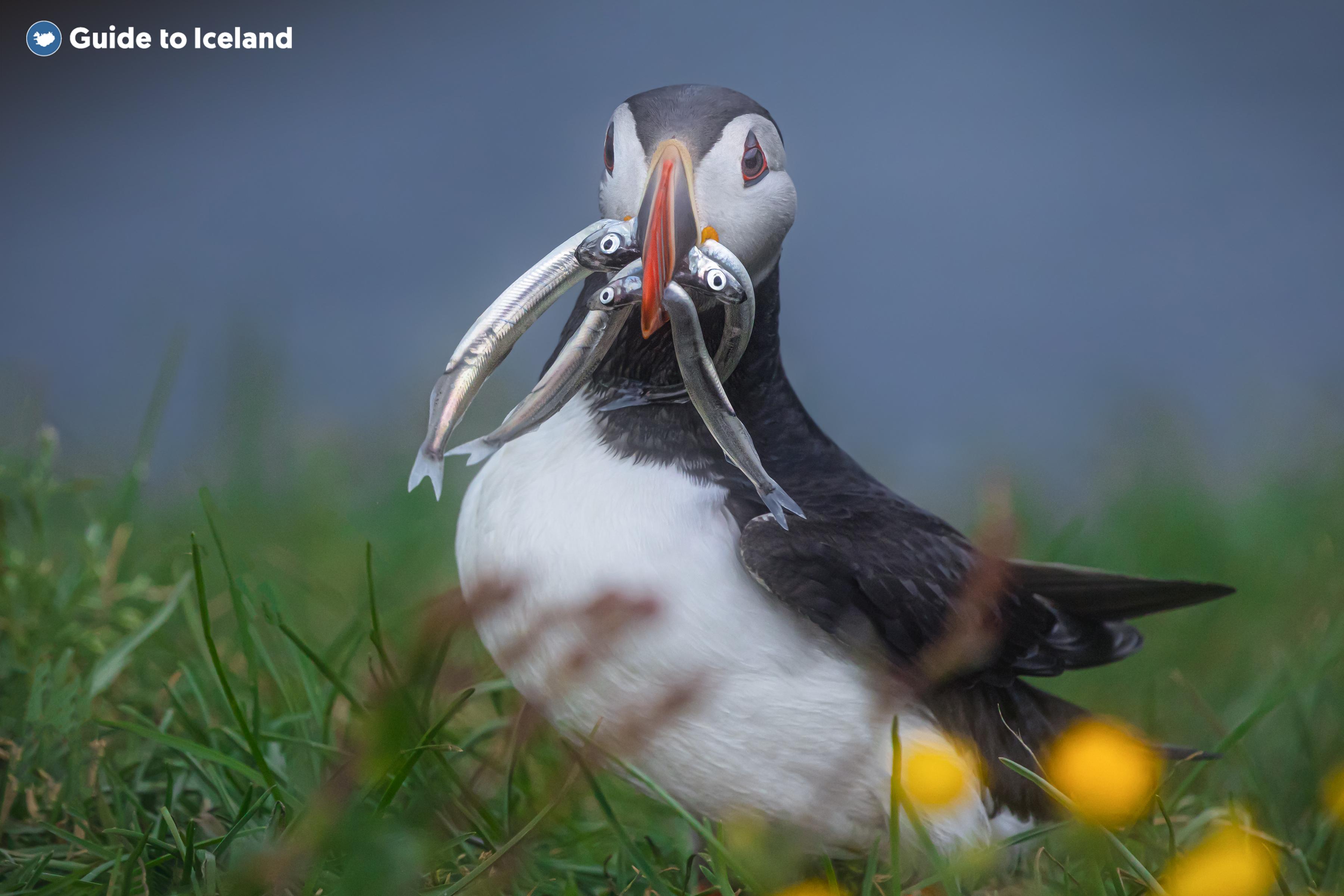 La tranquila isla de Flatey en el oeste de Islandia es el hogar de los frailecillos.