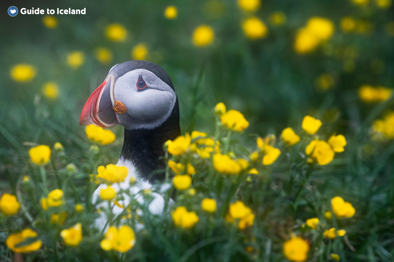 从冰岛斯奈山半岛乘坐渡轮前往弗拉泰岛