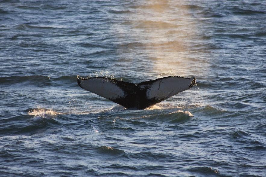 Экскурсия по наблюдению за китами в Рейкьявике, Исландия