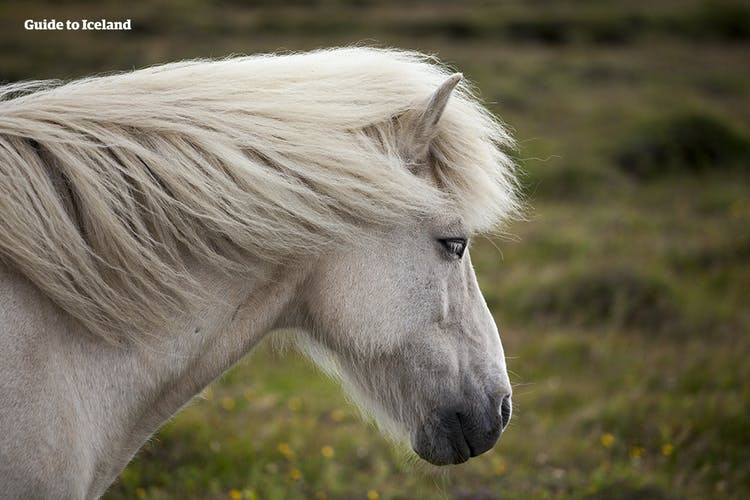 Icelandic horses are beautiful, loyal steeds.