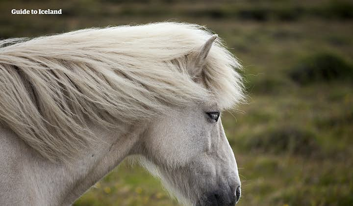 The profile of an Icelandic horse.
