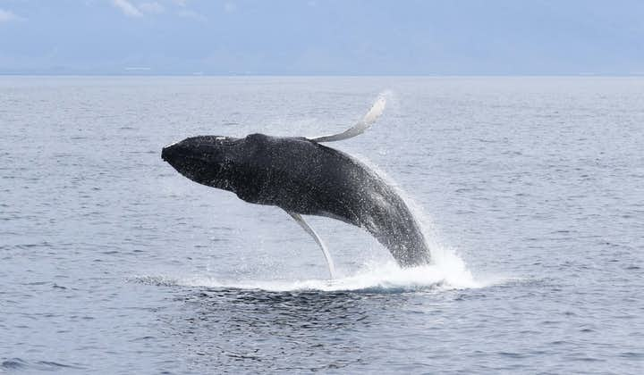 A whale leaps out of the water to delight tour goers