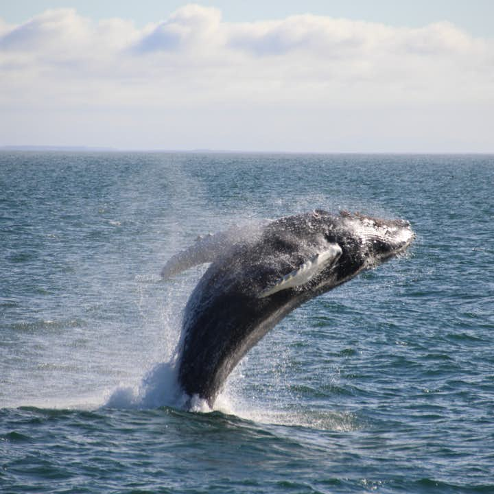 Lucky whale watching tour participants might see a whale jump out of the water