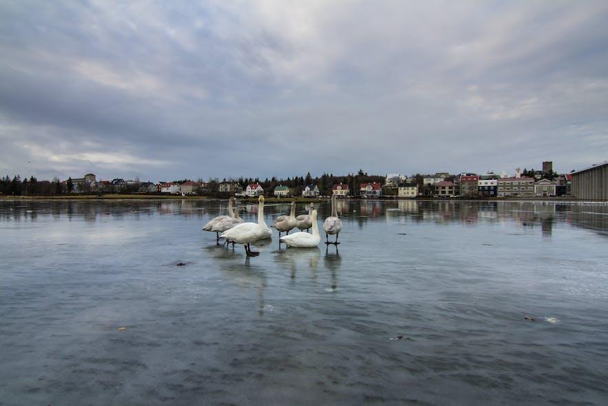 the pond in Reykjavík