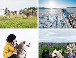 Hundeschlitten-Tour | Treffpunkt vor Ort (nahe Reykjavik)