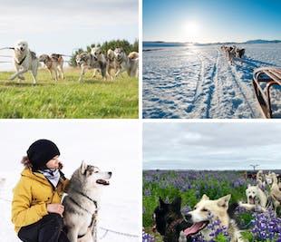 Катание на собачьих упряжках вблизи Рейкьявика | Встреча на месте