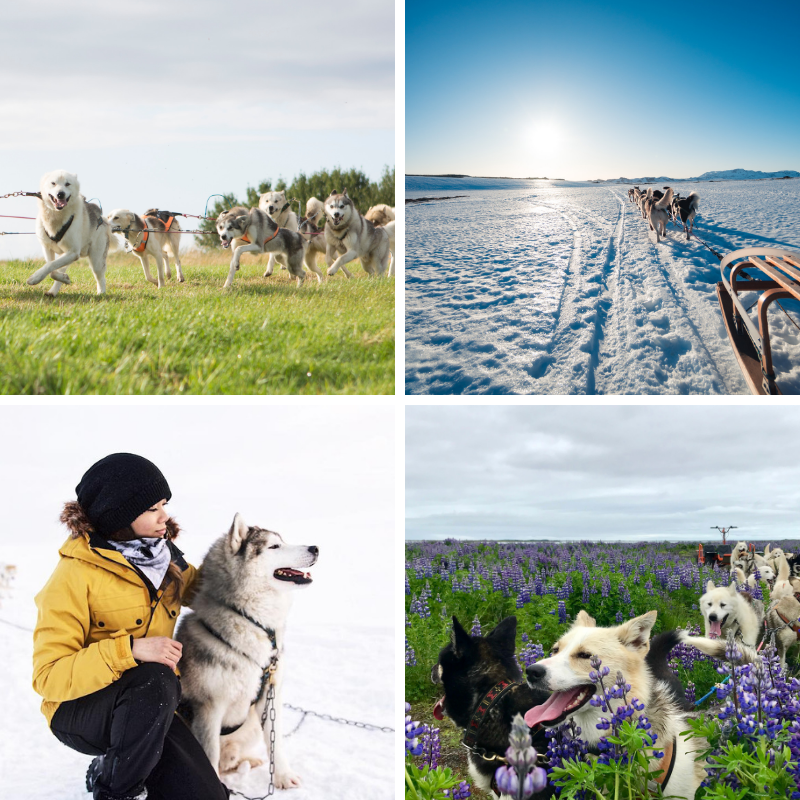Meet on Location 45 Minute Dog Sledding Tour Near Reykjavik
