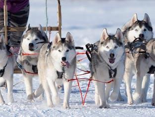 1.5 Hour Dog Sledding Experience in Akureyri