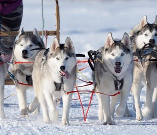 Dog Sledding Private Experience in Akureyri