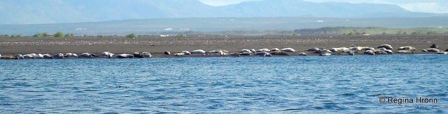 A seal colony on the Vatnsnes peninsula