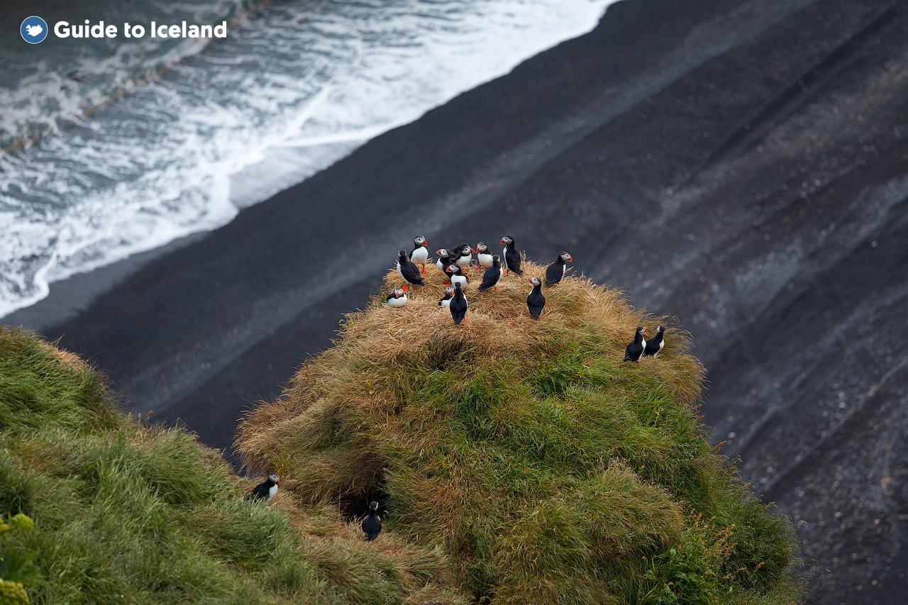 아이슬란드 남부해안의 절벽 위에 둥지를 트는 북극 퍼펀.