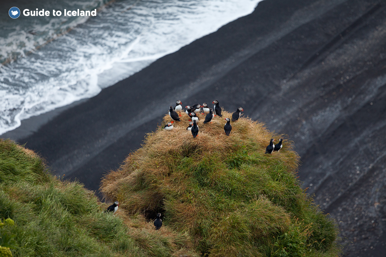 North Atlantic Puffins nestle in the cliffs on the South Coast of Iceland