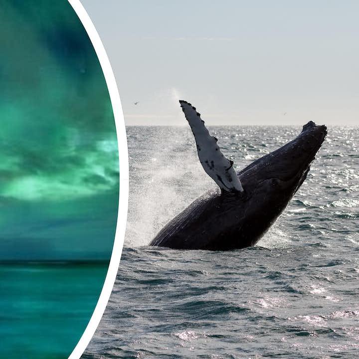 冰岛大西洋观鲸+北极光狩猎船游组合旅行团