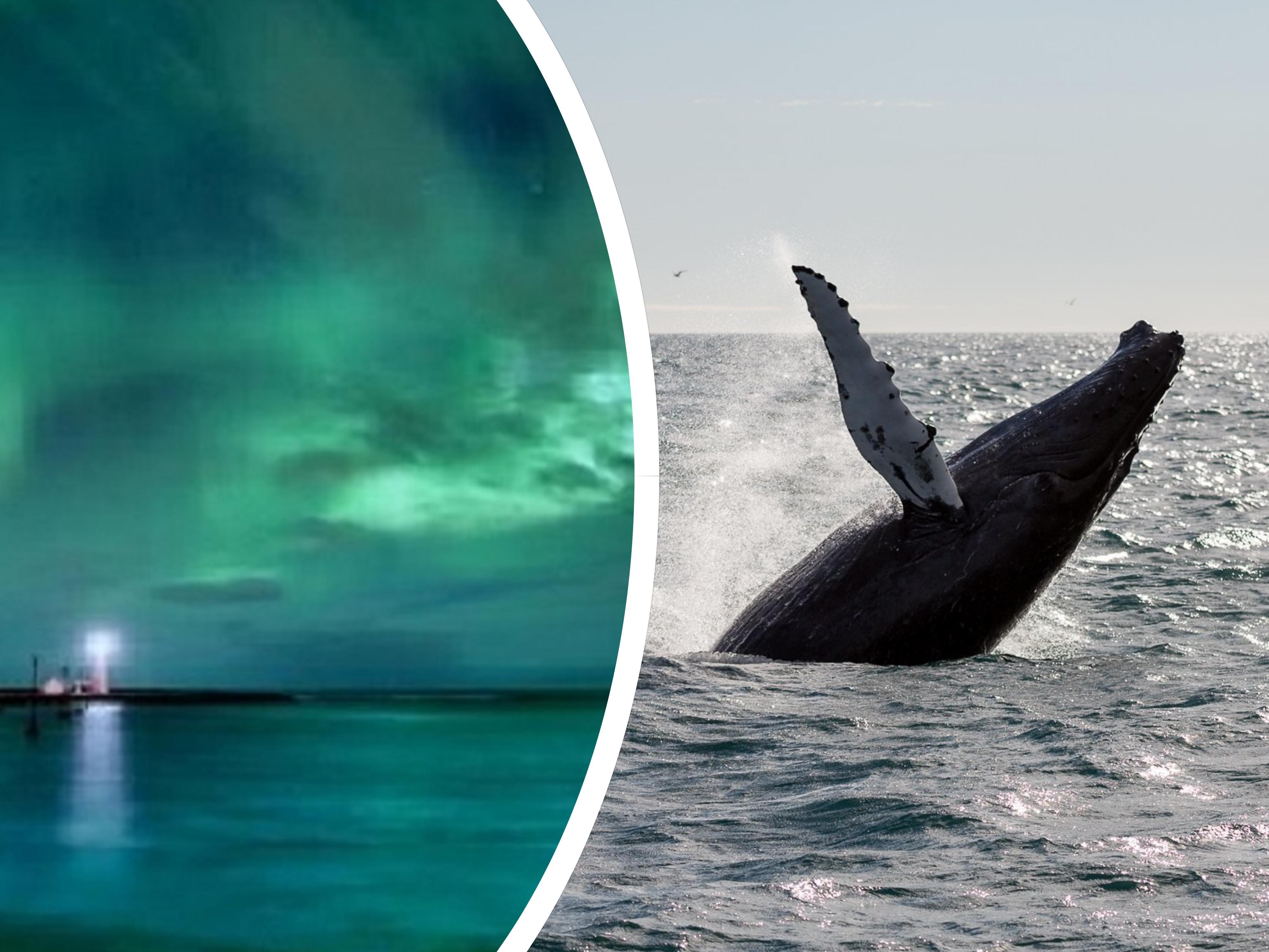 Połączenie 6-godzinnej wycieczki łodzią z obserwacją wielorybów i polowania na zorzę polarną z transferem z Reykjaviku