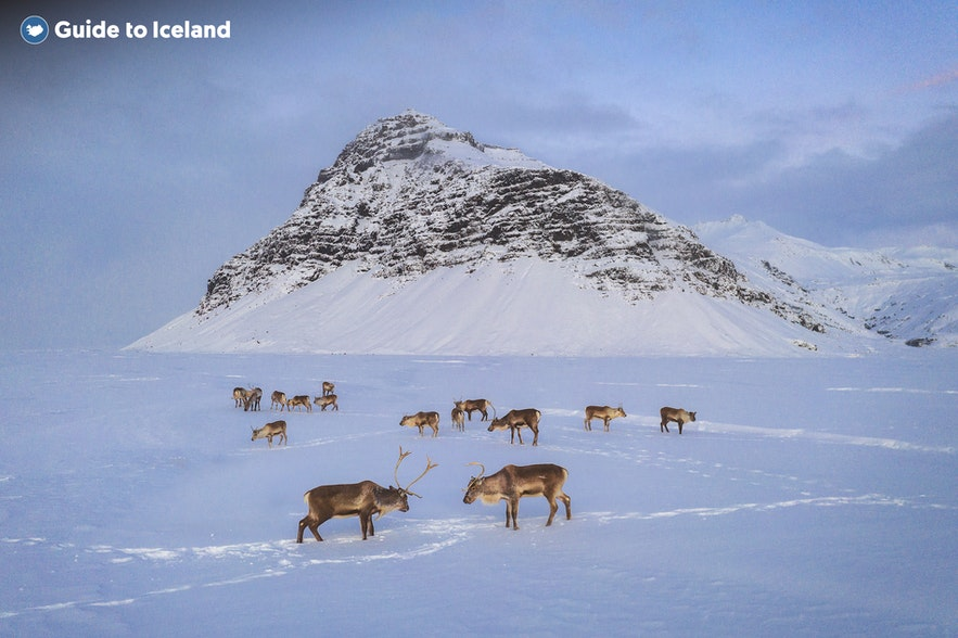 冰島東部有機會看到野生馴鹿