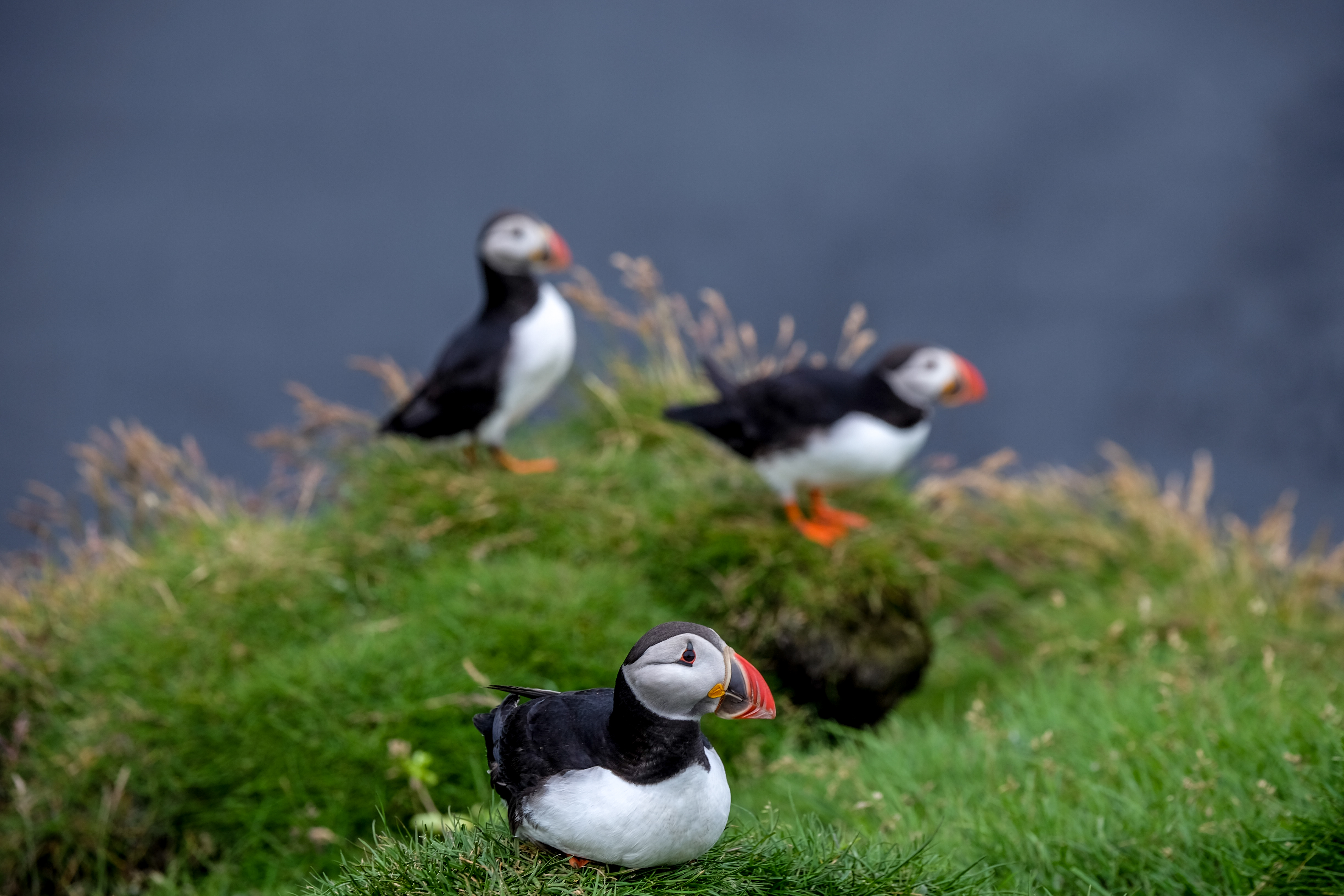 Three puffins on a grassy cliff on Iceland's South Coast.