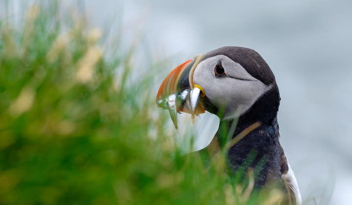 A close up of an Atlantic Puffin holding fish in its mouth.