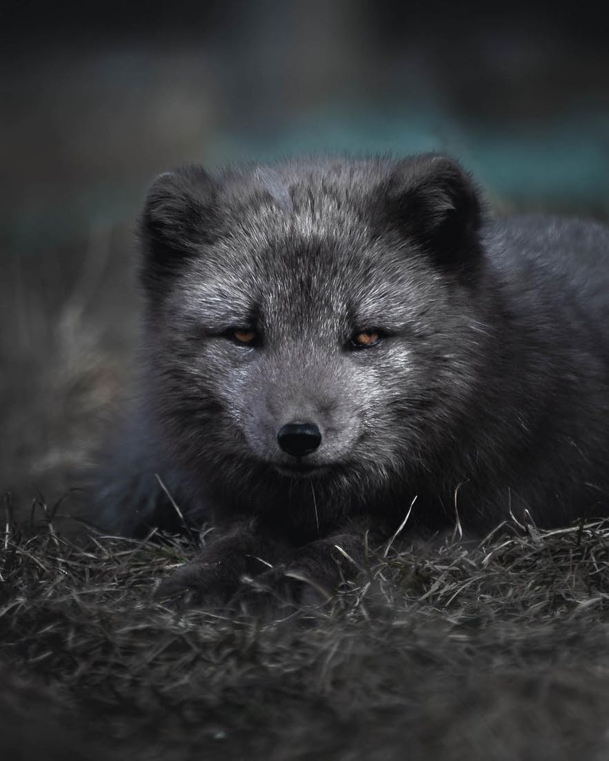 An arctic fox, pictured here in Iceland