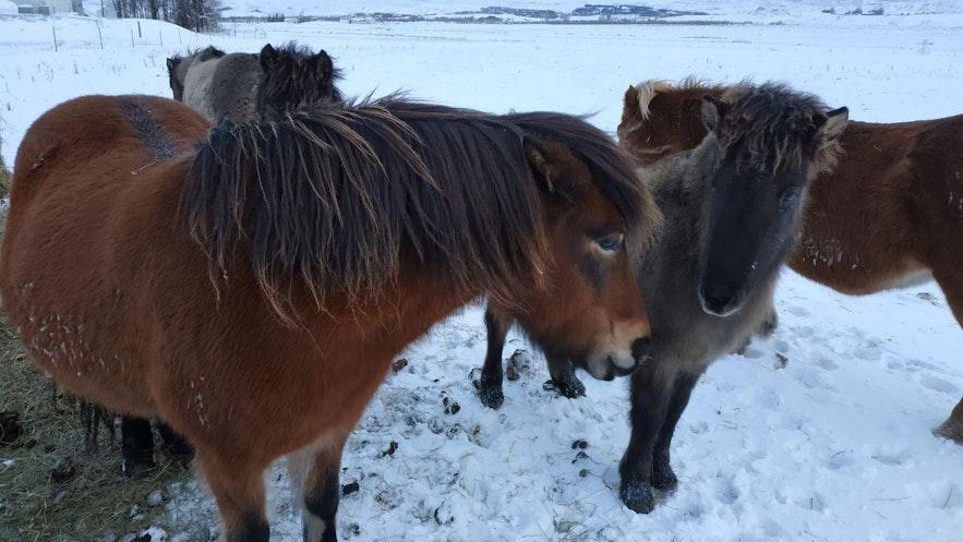 Una familia de caballos islandeses